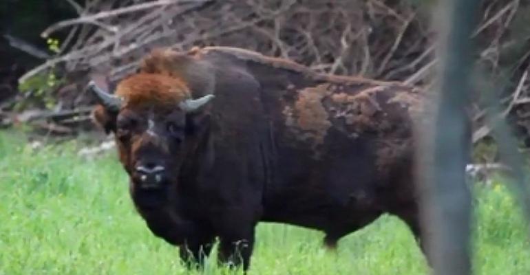 Dostojny żubr w bieszczadzkich lasach. Król jest tylko jeden (VIDEO)