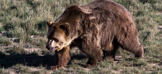 BIESZCZADY: Niedźwiedź zaatakował mężczyznę. Ranny trafił do sanockiego szpitala