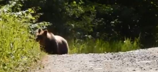 Czasem i leśniczy ucieka przed niedźwiedziem. Lepiej nie wchodzić miśkowi w drogę (FILM)