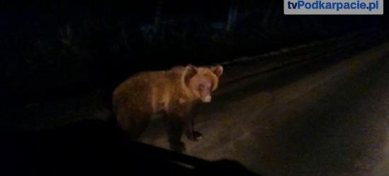Niedźwiedź z Polany jest zdrowy. Trafił do leśnej dziczy
