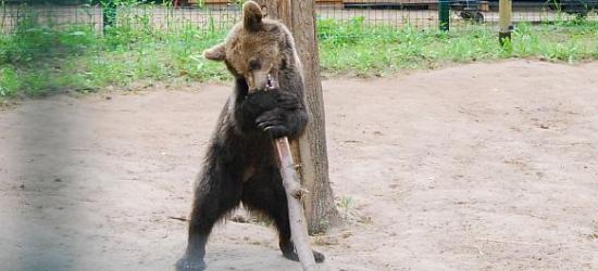 Radni z Cisnej odwiedzili małą niedźwiedzicę. Cisna szalała na ich widok, jakby poczuła że są z Bieszczadów (ZDJĘCIA)