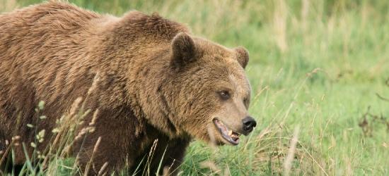 BIESZCZADY: Niedźwiedzica broniła potomstwa i zaatakowała turystę